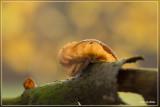 Echt judasoor - Auricularia auricula-judae