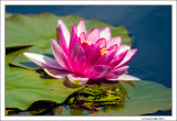 Frog Hinding near Water Lily