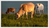 Zebu Cows