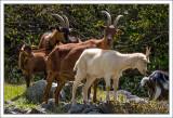 Nosey Goats