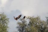 2013-10-06 zeearend vossemeer 4.jpg