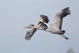 2013-10-31 diepholz kraanvogel 2 fb.jpg