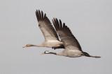 2013-10-31 diepholz kraanvogel 5 fb.jpg