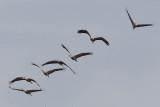 2013-10-31 diepholz kraanvogel 6 fb.jpg