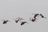 2013-10-31 diepholz kraanvogel 7 fb.jpg