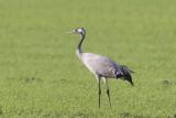2013-10-31 diepholz kraanvogel 9 fb.jpg