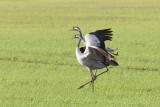 2013-10-31 diepholz kraanvogel 10 fb.jpg