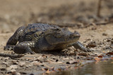 2015-01-19 krokodil gambia 3.jpg