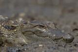 2015-01-19 krokodil gambia.jpg
