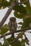 2015-01-19 pearl spotted  owlet geparelde dwerguil gambia.jpg