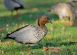Australian Wood Duck(drake)