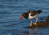 Sea and Shore Bird Gallery