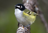 Vireos - the Tight Crops