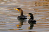 Double-crested and Neotropic Cormorants