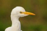 Herons, Egrets, & Ibis