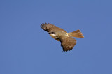 Thick-billed Kingbird