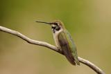 Black-chinned Hummingbird (juvenile)