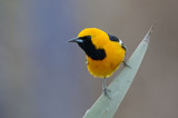 Blackbirds, Meadowlarks, & Orioles