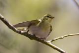 wood warblers (4)