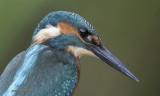 devon kingfishers in natural surroundings  ( 62 )