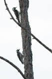 Red-cockaded Woodpeckers