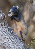 Fox Squirrell