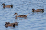 White-cheeked Pintail & Blue-winged Teal
