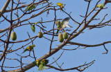 Yellow-chevroned & White-winged Parakeets