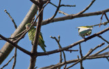 White-winged Parakeets