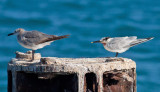Sandwich Tern & Laughing Gull