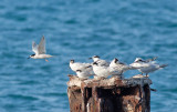 Roseate & Sandwich Terns