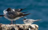 Roseate Tern & Laughing Gulls