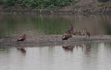 Fulvous & Black-bellied Whistling-Ducks