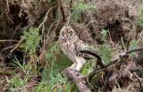 Short-eared Owl (Pueo)