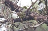 Hawaii Creeper