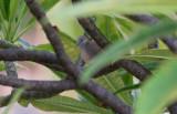 Zebra Dove