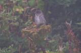 Alaska Birding; Fall 2013