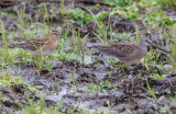 Long-billed Dowitcher &Sharp-tailed Sandpiper