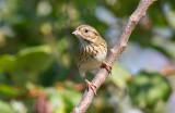 Lincoln's Sparrow.