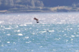 Peregrine Falcon with Fork-tailed Storm-Petrel