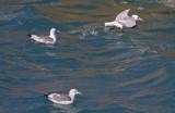 Mew Gull & Black-legged Kittiwakes