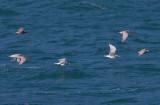 Glaucous-winged & Herring Gulls