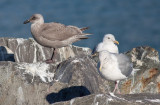First-cycle Cook Inlet Gull (Glaucous-wing x Herring) with Glaucous-winged Gulls