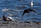 Northwestern Crows & Mew Gull
