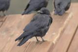 Northwestern Crows