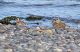 Black-bellied & Pacific Golden-Plovers