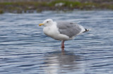 Hybird (Glaucous-winged x Herring Gull)