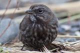 (Kenai) Song Sparrow
