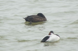 White-winged Scoter & Canvasback
