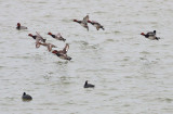 Redheads & Greater Scaup